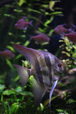 Глубокий также известный Angelfish (altum Pterophyllum), angelfish Ориноко Стоковое Фото
