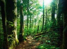 Глубокий ый-зелен лес с мшистыми древесинами и папоротниками Стоковое Изображение RF