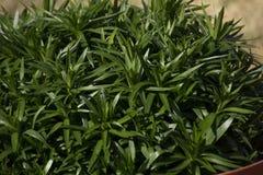 Глубокий ый-зелен завод Perenial тот зацветает желтые цветки в утрах Стоковые Изображения RF