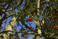Глубокий ый-зелен падуб выходит с централизованными живыми красными ягодами Стоковое Изображение RF