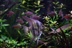 Глубокий angelfish Стоковое Изображение RF