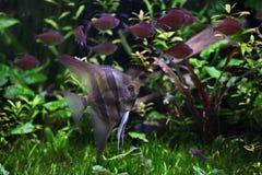 Глубокий Angelfish (altum Pterophyllum) Стоковая Фотография RF