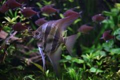 Глубокий Angelfish (altum Pterophyllum) Стоковые Фото