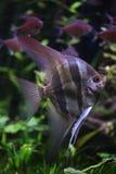 Глубокий Angelfish (altum Pterophyllum) Стоковая Фотография
