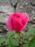 Глубоко - роза пинка Стоковое Изображение RF