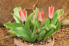 Глубоко - розовые миниатюрные тюльпаны Стоковые Изображения