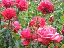 Глубоко - розовые одичалые розы Стоковые Изображения RF