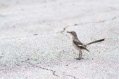 Глумясь птица стоя на улице Paved, взгляде со стороны, черной серой белизне, простой Стоковые Фотографии RF