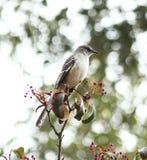 Глумясь птица Стоковые Изображения