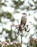 Глумясь птица Стоковое Изображение