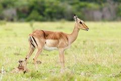 Давать angasii Tragelaphus рождения 2 - Nyala - Стоковое Изображение
