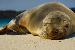 дает wink моря льва Стоковая Фотография