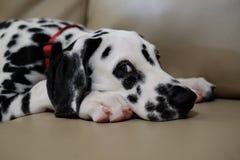 Далматинская собака щенка лежа на софе или кресле смотря камеру Стоковые Фотографии RF