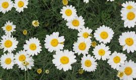 Далматинские цветки cinerariifolium хризантемы хризантемы Стоковые Фотографии RF