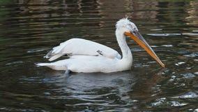 Далматинский пеликан плавая на воду акции видеоматериалы