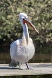 Далматинский пеликан - crispus Pelecanus - на деревянной пристани стоковые изображения rf