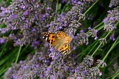 Дама покрашенная бабочкой сидя на лаванде Стоковые Фото