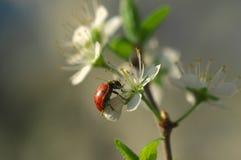 Дама Прослушивать на blossomed дереве - натюрморт Стоковая Фотография RF