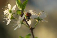 Дама Прослушивать на blossomed дереве - натюрморт Стоковые Изображения