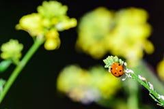 Дама Прослушивать Ladybug на стержне цветка с желтыми цветками в Backgroun Стоковые Фото