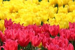 Дама 1 тюльпана милая стоковые изображения