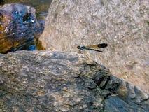 Дама фасоли стояла на камне в потоке Стоковое фото RF