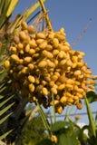 датирует пальму Стоковое фото RF