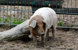 Датская свинья протеста Стоковое Изображение