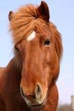 датские лошади Стоковое Изображение