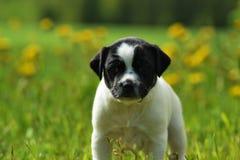 Датск-шведский щенок farmdog Стоковое Фото