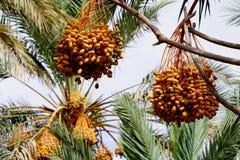 Даты зрея на пальме в Марокко Стоковые Фотографии RF