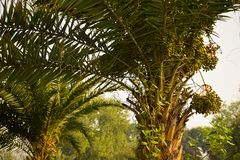 Даты на крупном плане дерева финиковой пальмы на солнечном свете утра стоковая фотография