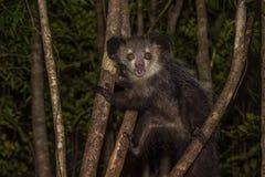 Да-да, ночной лемур Мадагаскара Стоковые Фотографии RF
