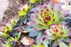 Да-зеленое Sempervivum Стоковая Фотография RF