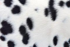 Далматинская предпосылка меха Стоковая Фотография RF
