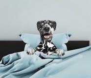 Далматинская собака спать Стоковое фото RF