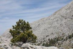 Далматинская черная сосна (subsp Pinus Nigra dalmatica) стоковое фото