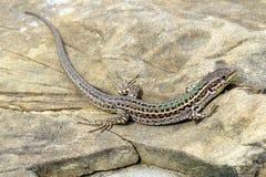 Далматинская ящерица стены Стоковые Фотографии RF
