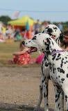 Далматинские отпрыски на ярмарке, запачканной предпосылке Стоковые Фото