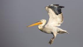 Далматинские пеликаны принятые  Стоковые Изображения RF