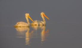 Далматинские пеликаны плавая Стоковая Фотография