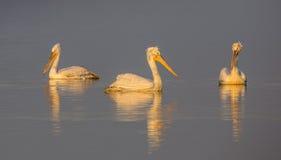 Далматинские пеликаны плавая Стоковые Изображения