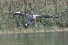 Далматинский пеликан в полете Стоковая Фотография RF