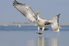 Далматинский пеликан приезжая Стоковые Изображения RF