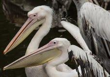 Далматинский пеликан стоя на упаденном дереве Стоковые Фотографии RF