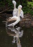 Далматинский пеликан стоя на упаденном дереве Стоковое Фото