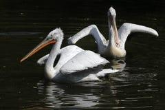 Далматинский пеликан (crispus Pelecanus) Стоковое Изображение