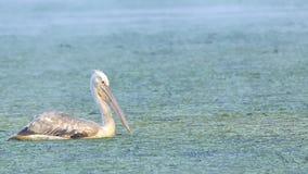 Далматинский пеликан (crispus Pelecanus) Стоковое Фото