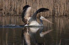 Далматинский пеликан (crispus Pelecanus) Стоковые Изображения RF