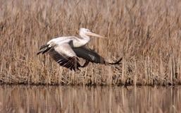 Далматинский пеликан (crispus Pelecanus) Стоковая Фотография RF